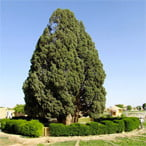 Abarkooh Cypress tree (Sarv-e Abarkuh) - Iran 9-day tour package