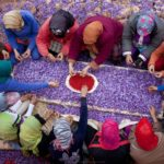 iran saffron field