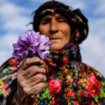 iranian-saffron-farm-tour