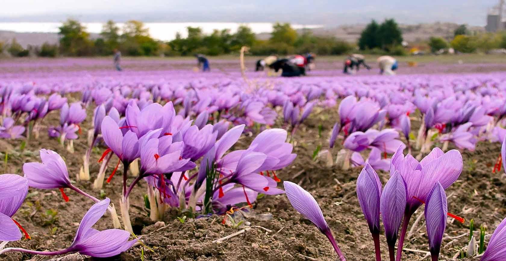 saffron tour-iran kashan