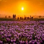 Iran saffron farm tour package